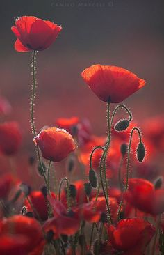 Poppies by wildflower and nature photographer Camilo Margelí.Red Poppies by wildflower and nature photographer Camilo Margelí. Amazing Flowers, My Flower, Beautiful Flowers, Flower Colors, Jolie Photo, Red Poppies, Poppy Flowers, Planting Flowers, Bloom