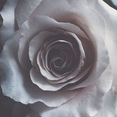 perfect rose ~ ZsaZsa Bellagio