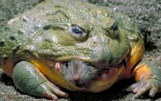 GOLIATH FROG FROM CAMEROON