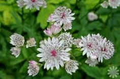 astrantia major - Google Search