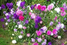 Keep asters and chrysanthemums  compact by pinching a couple of inches off their growing tips when they reach 12 inches tall in spring and again in mid-summer