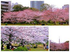 """☆共和AMELのお花見☆  """"芝離宮恩賜庭園の桜""""  ここは浜松町にすぐ隣接する 公園で意外と人も少なくゆっくりと 花見を楽しむことができます。  公園内には満開の桜 そして美しい春の花々が咲きはじめ メルヘンの世界を感じさせてくれる 風景でした♫  <URL> http://www.kyowayakuhin.co.jp/"""