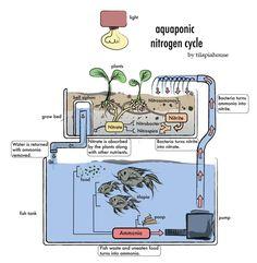 el ciclo del nitrógeno... para que los desechos de unos sean alimento para otros