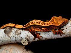 Orange Pinstripe Crested Gecko