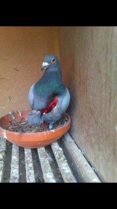 This is true story Racing pigeon attacked by falcon, it has a big injury and was able to fly and return to home