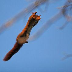 Ecureuil volant                                                       …
