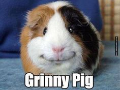 Adorable smiling guinea pig - he just looks so content.yes sir.i am one happy guinea pig! Smiling Animals, Like Animals, Happy Animals, Animals And Pets, Funny Animals, Smiling Dogs, Small Animals, Farm Animals, Funny Facial Expressions