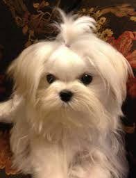 maltese puppies - Google Searc #maltese puppies - Google Search