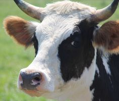 Origin magazine just did a great article on Cow Milk and mentioned the lifestyle of Hawthorne Valley cows....and how they are sung to in the barn! They are special and treated that way.... hawthornevalleyfarm.org