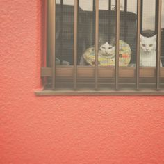 naomiuno お見送りしてくれるけど…。 2人して何見とん?? おこちゃんじわる…w 行ってきま〜っす♩ #八おこめ #ねこ部 #cat #ねこ #お見送り #窓辺の猫 2017/01/22 11:57:07