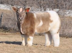 もふもふの牛 Cute cow with long hair short leg