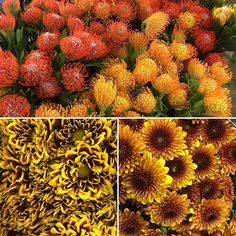 The #color of the #season #pincushion #mums #orange #yellow #brown this #fall