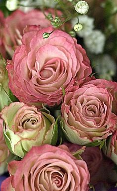 Dusty rose roses