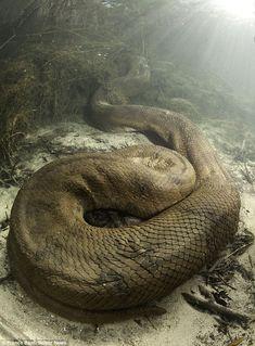 26ft Long Monster Anaconda