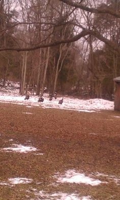 Keysville VA Kiara's picture of turkeys in the yard 1/25/14