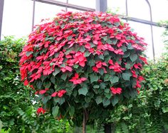 Poinsettias, Longwood Gardens