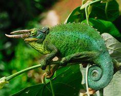 Jackson Chameleon   Jackson's Chameleon