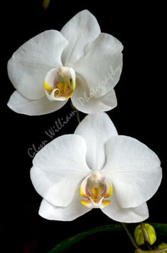 Two white orchid flowers