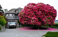 A beautiful 125 Year Old Rhododendron Tree in Ladysmith, British Columbia, Canada  -Green Renaissance