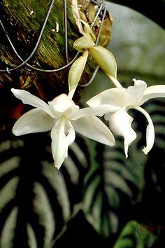 Stanhopea reichenbachiana