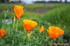 Helena, CA I used to think that Cheetos orange was a color that didn't appear in nature. Then I met California poppies or Eschs. California Poppy, Cheetos, Wine Country, Sailing, Paradise, Bloom, Rose, Places, Flowers