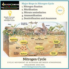 Simple nitrogen cycle nitrogencycle microbiology pinterest 5 steps in nitrogen cycle with simple diagram and notes on anammox ccuart