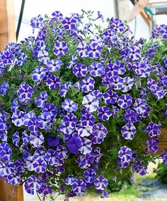 Petunia ´Viva Blue Stardust´