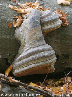 Hoof Tinder Fungus Mushroom Pictures, Hoof Tinder Fungus Images   NaturePhoto
