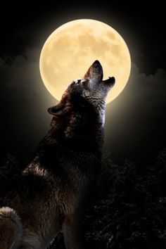 Wolf on wallpapers HD