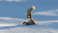 Fox hunting under snow in an incredible way (VIDEO)--Posted to DESERT HEARTS Animal Compassion - Phoenix, Arizona --11/26/2013 http://www.facebook.com/...: Ideas, Author Link Fox, Link Amazing, Link This, Fascinating Video