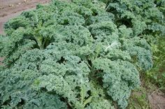 Too much of anything is not good!!  The Dark Side Of Kale (And How To Eat Around It)