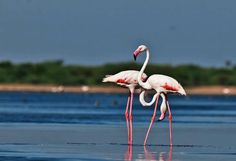 Flamingos in Pulicat - one of the best weekend getaways around chennai