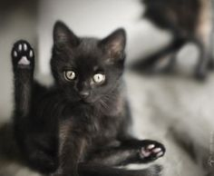 Halloween is coming and no other animal is more iconic than a black cat when it comes to this dark holiday. Take a look at these adorable black cats and kitten pictures and learn some interesting black cat facts and superstitions while you browse. Cute Kittens, Cats And Kittens, Ragdoll Kittens, Tabby Cats, Bengal Cats, Kitty Cats, Cute Black Cats, White Cats, Black Kitty