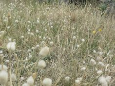Bunny Grass Plant Info: How To Grow Bunny Tail Grasses