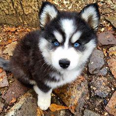 See more Beautiful Siberian Husky Dog photos,. - Where Is My Husky - Husky Beautiful, Funny Momment Photos Red Siberian Husky, Siberian Husky Training, Siberian Huskies, Husky Husky, Husky Pups, Expensive Cars, Amazing Cars, Dog Photos, I Love Dogs