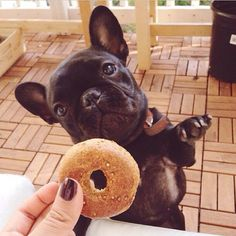 """Please give me the doggie donut please!"", adorable French Bulldog Puppy."