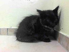 THE NYCACC WILL EUTHANIZE THIS KITTEN, AND OTHERS, UNLESS A HOLD IS PLACED ON HIM BY NOON TOMORROW, 7/28/14.  LOG IN HERE TO SAVE A LIFE....  http://www.nycacc.org/PublicAtRisk.htm  ........Brooklyn Center   My name is LEO. My Animal ID # is A1007776. I am a male black and gray domestic sh mix. The shelter thinks I am about 10 weeks old.