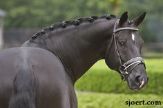 MOORLANDS TOTILAS, dressage superstar and all-round handsome stallion. #horses