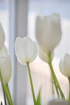 so clean and fresh  #white #tulips #flowers #flora #light #bright #pure #clean