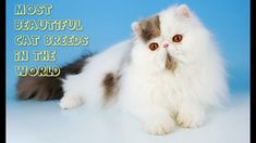 Most Beautiful Cat Breeds In The World Cats are one of the most popular pets in the world. The playful nature of cute cats adds joy and happiness to our life. World Cat, Cats Meowing, Most Beautiful Cat Breeds, Joy And Happiness, Camera Phone, Cute Cats, Pets, Animals, Pretty Cats