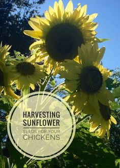 Sunflowers can be used for more than a sunny face! Use them by harvesting sunflower seeds for chickens! Here's a step-by-step guide to free chicken food!