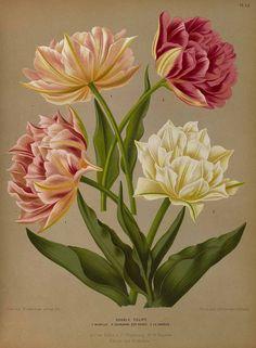 165420 Tulipa hort. / Eeden, A.C. van, Album van Eeden, Haarlem's flora, afbeeldingen in kleurendruk van verschillende bol- en knolgewassen, p. 41, t. 54 (1872-1881)