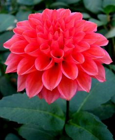 "Tempest Dahila -- A much needed color of rosy coral, these 5"" flowers grow on a very compact sturdy 4' bush."