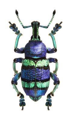 Eupholus schoenherri #Beetles