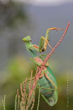 Photograph by IGOR SIWANOWICZ Mantodea (or mantises) is an order of insects that contains approximately species in 15 families worldwide in temperate and tropical habitats. Cool Insects, Bugs And Insects, Flying Insects, Mantis Religiosa, Cool Bugs, A Bug's Life, Beautiful Bugs, Praying Mantis, Beneficial Insects