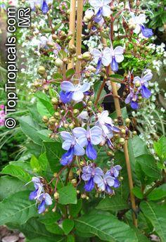 Butterfly Bush, Butterfly Flowers, Blue Butterfly, Blue Flowers, Butterflies, Garden Catalogs, Garden Boxes, Garden Ideas, Exotic Plants