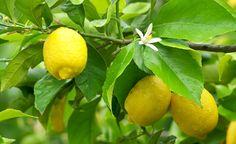 Zitrone, Mandarine oder Kumquat sorgen für Urlaubsflair auf dem Balkon #homestory #homestoryde #home #interior #design #inspiring #creative #advice #tipps #garten #garden #zitronen #lemons