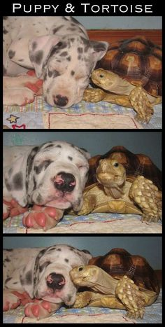 Turtles are better snugglers than we give them credit for. #unlikelyanimalfriendships