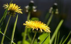 Dandelion flowers are nutritious and delicious! Make dandelion flower infusion and turn it into a syrup to preserve the goodness all year round. Dandelion Benefits, Dandelion Root Tea, Dandelion Flower, Dandelion Plant, Healing Herbs, Medicinal Plants, Get Rid Of Dandelions, Country Living Grain Mill, Coffee Substitute