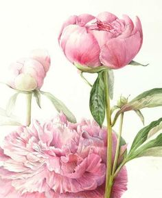 by Elaine Searle Botanical Drawings, Botanical Illustration, Illustration Art, Botanical Flowers, Botanical Prints, Watercolor Flowers, Watercolor Paintings, Watercolors, Fleurs Art Nouveau